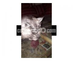 Pure Persian Female kitten - Image 3/4