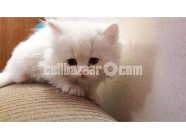 Pure Persian male kitten - 1/4