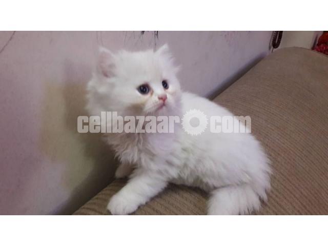 Pure Persian male kitten - 2/4