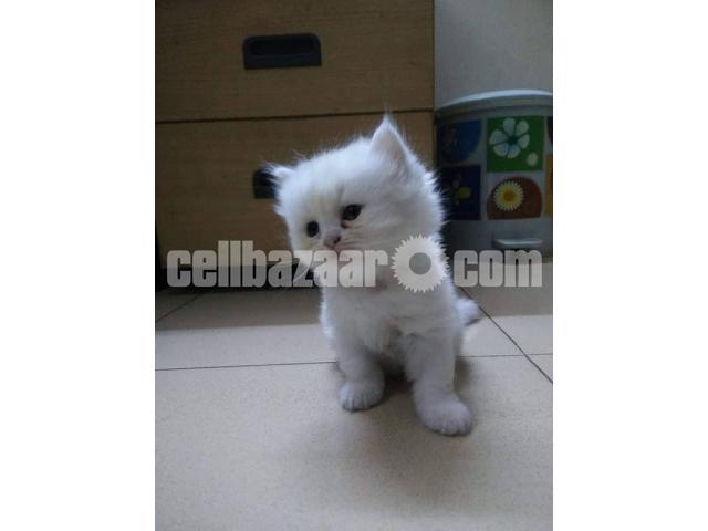 Pure Persian male kitten - 3/4