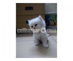 Pure Persian male kitten - Image 3/4