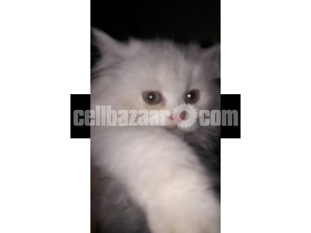 Pure Persian male kitten - 4/4