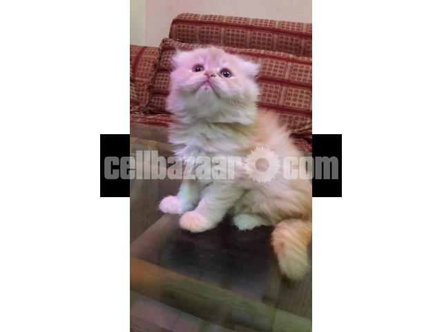 Pure Persian Female kitten - 1/5