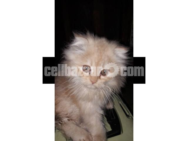 Pure Persian Female kitten - 2/5