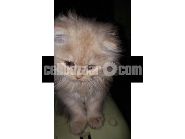 Pure Persian Female kitten - 3/5