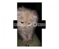 Pure Persian Female kitten - Image 3/5