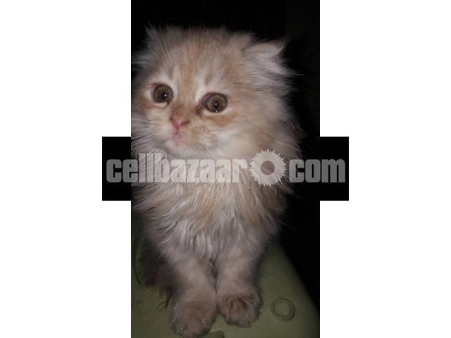 Pure Persian Female kitten - 4/5