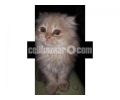 Pure Persian Female kitten - Image 4/5