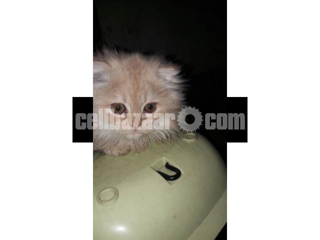 Pure Persian Female kitten - 5/5