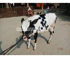 Frerezan cow 8th month old
