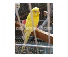Budgiegar Bird