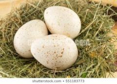 উর্বর টারকির ডিম fertile turkey eggs