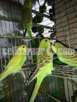 Budrigger 5 new birds For sale