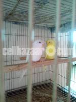 Red eye budgie for sale