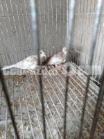 Red diamond dove baby pair
