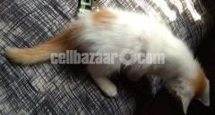 One Pasian mix breed Kitten is for sell.