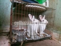 1 Male 1 Female (Pregnant) Rabbit with Cage