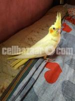 Tame Cockatiel