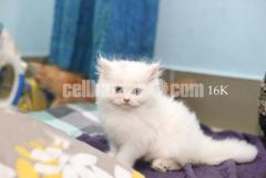 Persian Kitten Up For Sale