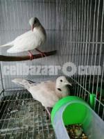 Australian Dove