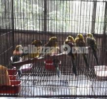 Rump Parrot