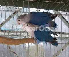 Lovebird cobalt fischer