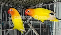 2 pair yellow fischer