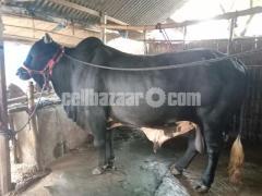 Big cow for Korbani