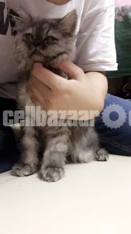 Long coat persian male kitten - 2/3