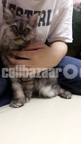 Long coat persian male kitten - 3/3