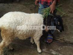 White colour beautiful garol for korbanir Eid....