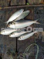 Hilsha fish ইলিশ মাছ
